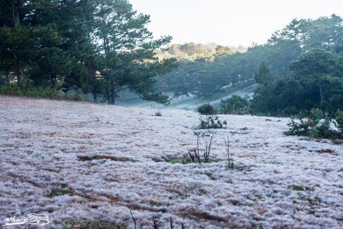 Nét đẹp đồi cỏ tuyết Đà Lạt